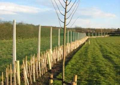 new hedge and tree planting in cemetery - Copy